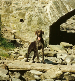 German Shorthaired Pointer Blaze