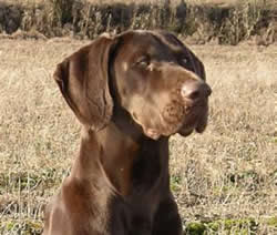 German Shorthaired Pointer Poppy