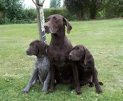 German Shorthaired Pointer Deva,Remi & Dali