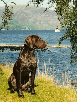 German Shorthaired Pointer Jake
