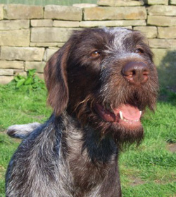 Headshot of German Wirehaired Pointer