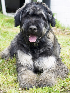 Giant Schnauzer Sitting on the Grass