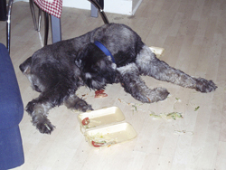 Giant Schnauzer Steals Dinner
