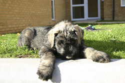 Giant Schnauzer Puppy Sleeping at Home