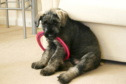 Giant Schnauzer Playing with Ring