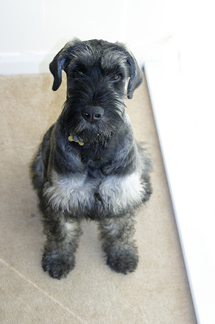 Giant Schnauzer Sitting on the Floor
