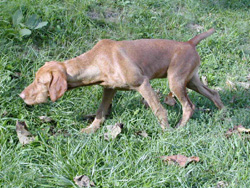 4 month old puppy Hungarian Wirehaired Vizsla