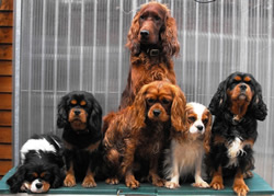 Irish Setter Jess with Gang