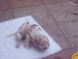 Italian Spinone Puppy Sleeping on the White Cloth