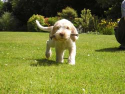Italian Spinone Puppy Standing on the Ground