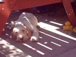 Italian Spinone Sleeping under the Table