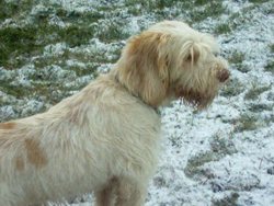 Italian Spinone Standing on the Snow
