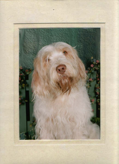 Italian Spinone Lookup the Picture