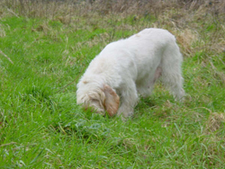 Italian Spinone Eating Grass