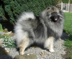 Keeshond Frosty