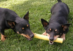 Lancashire Heeler chewing on pipe