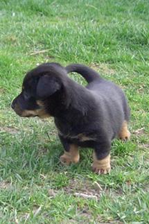 Lancashire Heeler 5 week old puppy
