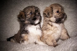 Lhasa Apso Puppies Pic