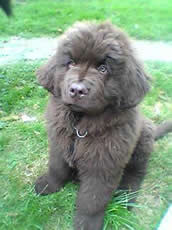 Newfoundland Puppy Pic