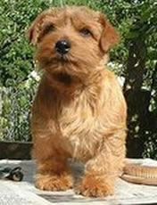Norfolk Terrier Pic