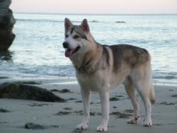 Northern Inuit Seekoo at three years old (November 2007)
