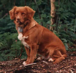 Nova Scotia Duck Tolling Retriever Arctic