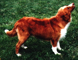 Nova Scotia Duck Tolling Retriever Ben