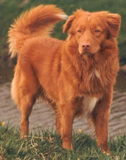 Nova-Scotia Duck Tolling Retriever