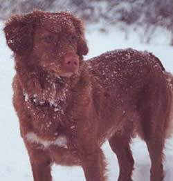 Nova Scotia Duck Tolling Retriever Abby