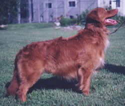 Nova Scotia Duck Tolling Retriever Bracken