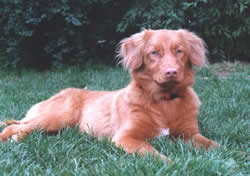 Nova Scotia Duck Tolling Retriever Mellinda