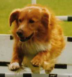 Nova Scotia Duck Tolling Retriever Kitch