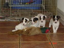 Parson Russell Terrier Puppies Pic