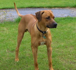 Front view of Rhodesian Ridgeback