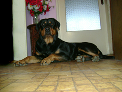 Rottweiler Baki Sitting near the Door