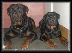 Rottweiler Baros with his daughter Ocean