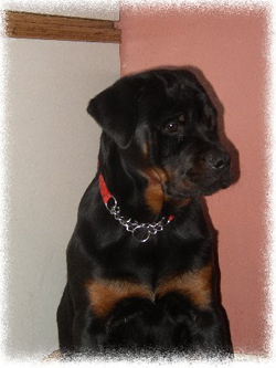 Rottweiler Ocean at 5 months old