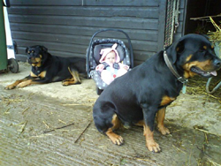 2 Rottweiler's with Baby