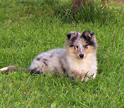 Rough Collie Puupy