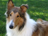 Rough Collie Tucker