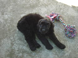Russian Black Terrier Puppy