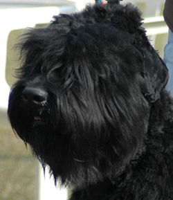 Head of Russian Black Terrier
