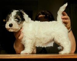Sealyham Terrier Puppy Show Pose