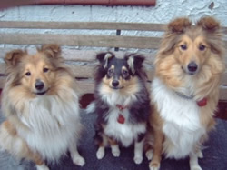 Shetland Sheepdog Puppies Holly are Sable & White and Sasha is a Tri