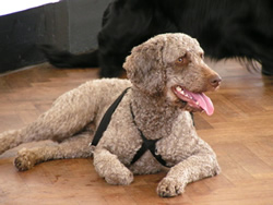 Spanish Water Dog Coco.