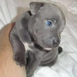 Blue Stafford Bull Terrier Puppy 6 weeks