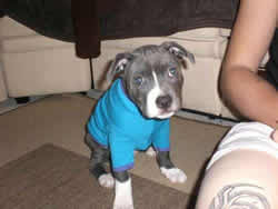 Blue Stafford Bull Terrier Puppy
