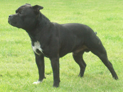 Staffordshire Bull Terrier Dog