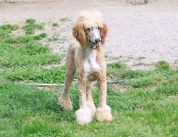 Standard Poodle Pic