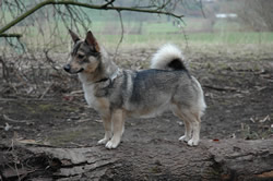 Swedish Vallhund Trixi